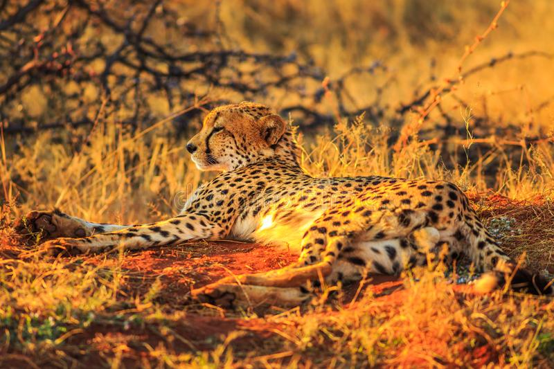 Cheetah lying red desert royalty free stock image