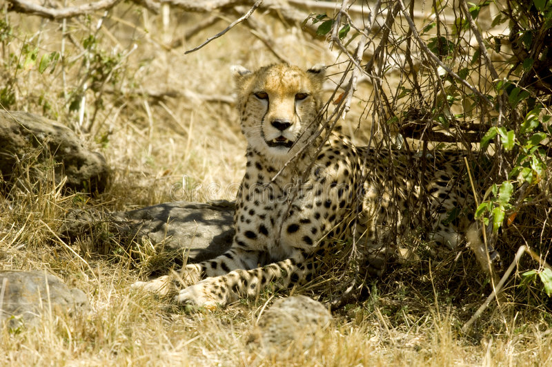 Cheetah Masai mara Kenya royalty free stock photography