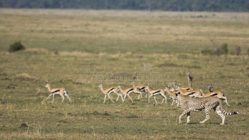 Cheetah hunting on the Maasai mara, Kenya stock photo