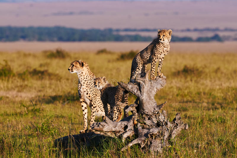 Cheetah mom and cubs royalty free stock image