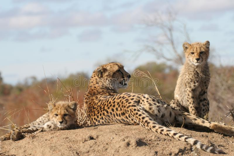 Download Cheetah mother and cubs stock photo. Image of national - 10183088