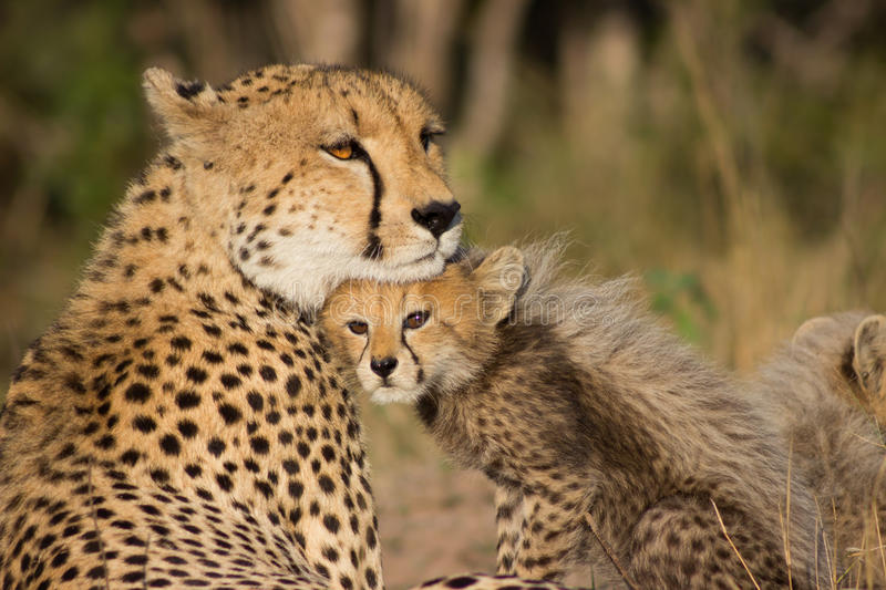 Cheetah Mother royalty free stock image