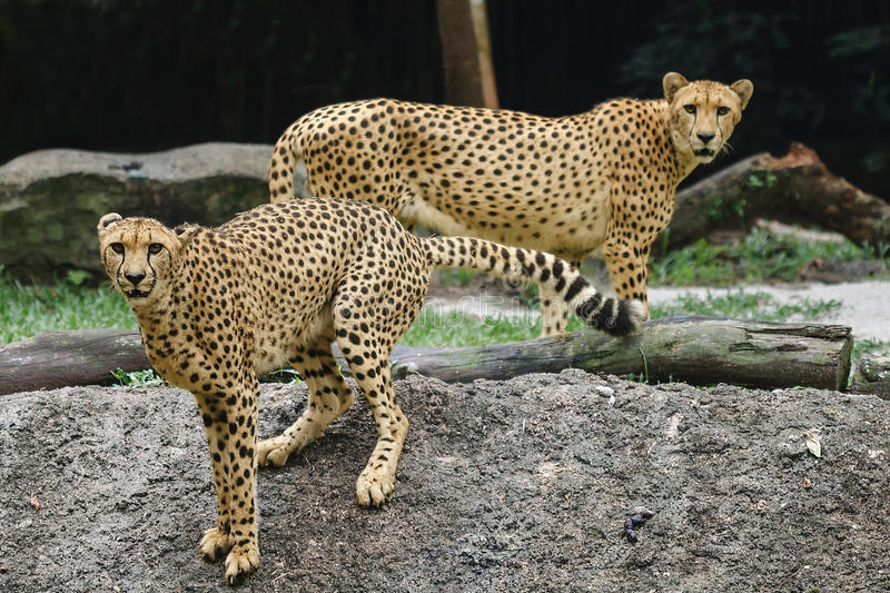 Download Cheetah pair stock photo. Image of animal, cheetah, attention - 24783800