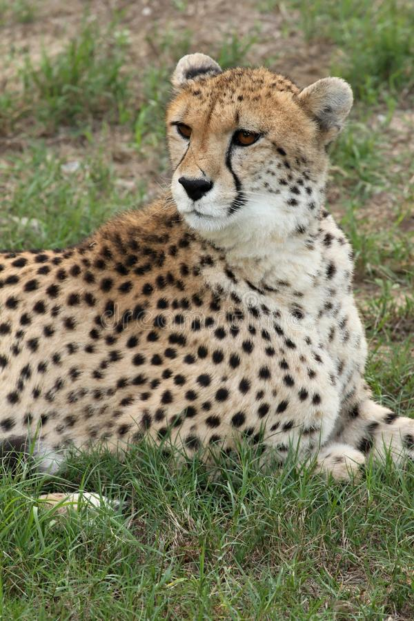 Download Cheetah Portrait stock photo. Image of endangered, carnivore - 13933700