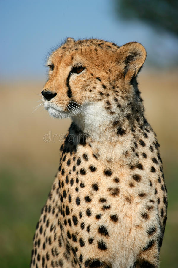 Download Cheetah portrait stock photo. Image of frontal, mammal - 15406360