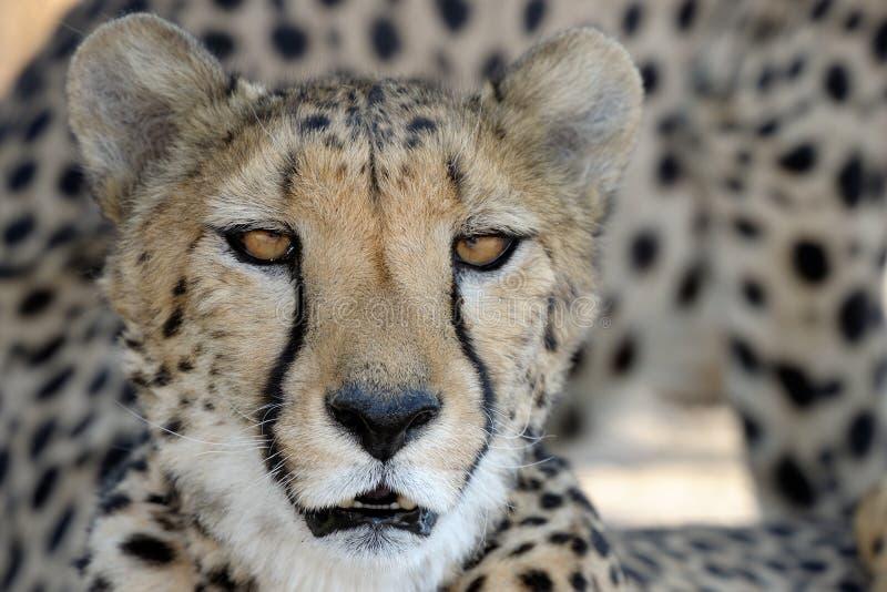 Download Cheetah portrait stock photo. Image of predators, africa - 25049216