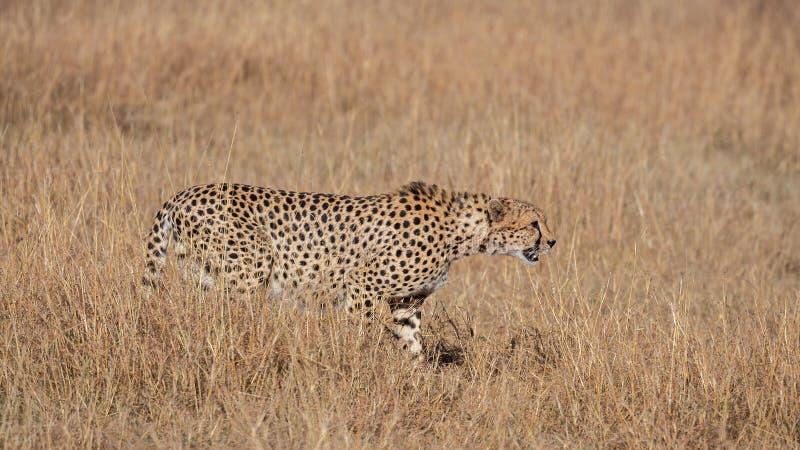 Cheetah walking in dry grass (Acinonyx jubatus), Masai Mara Reserve, Kenya. Cheetah (Acinonyx jubatus), Masai Mara Reserve, Kenya royalty free stock photography