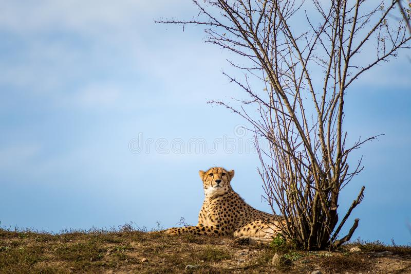 Cheetah portrait in late park stock images