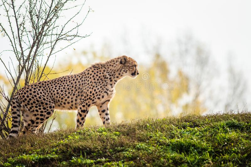 Cheetah portrait in late park royalty free stock photo