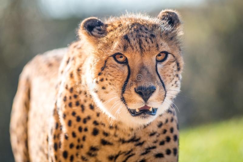 Cheetah portrait in late park royalty free stock photos