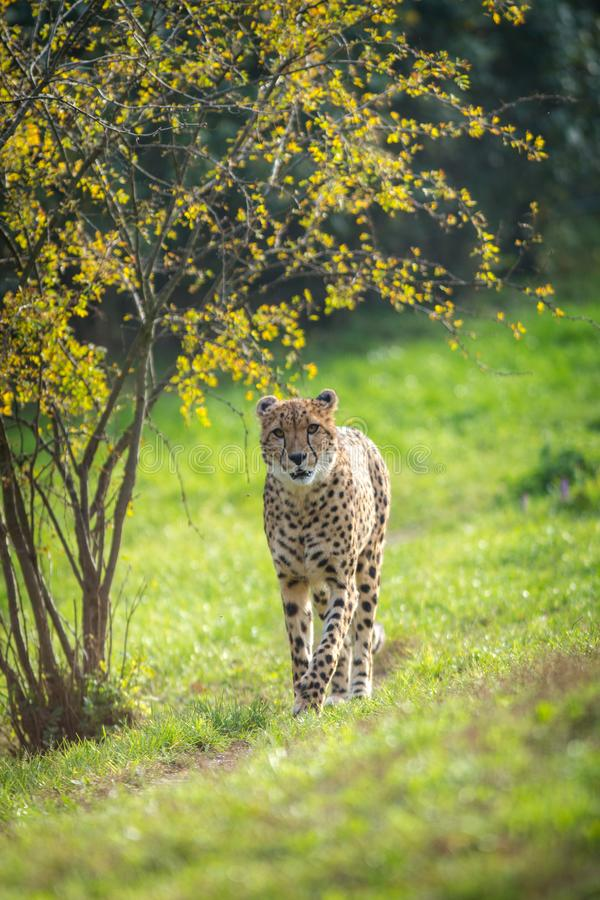 Cheetah portrait in late park stock photography