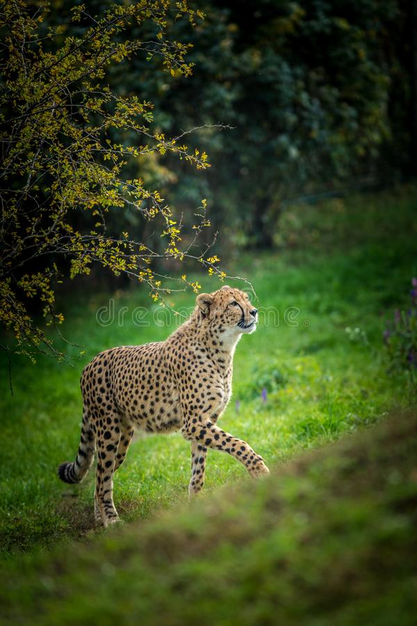 Cheetah portrait in late park royalty free stock photography