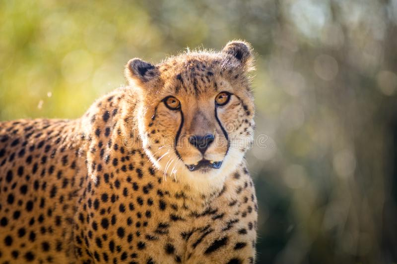 Cheetah portrait in late park royalty free stock images