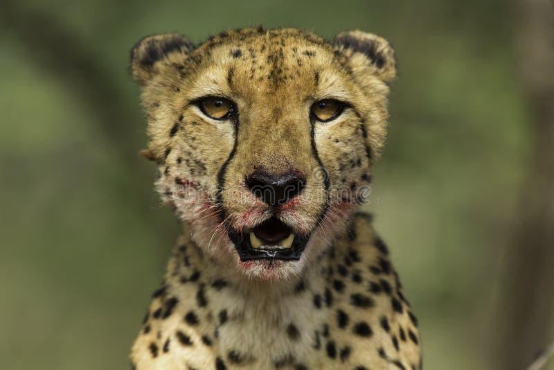 Cheetah Portrait. Cheetah looking up while finish off its meal, Zimanga Game Reserve, Botswana stock photography