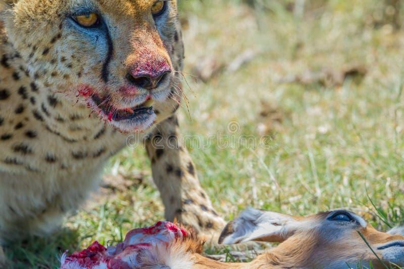 Cheetah And Prey, Masai Mara, Kenya stock photos