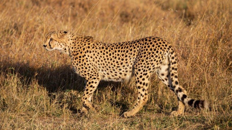 Cheetah profile (Acinonyx jubatus), Masai Mara Reserve, Kenya royalty free stock photography