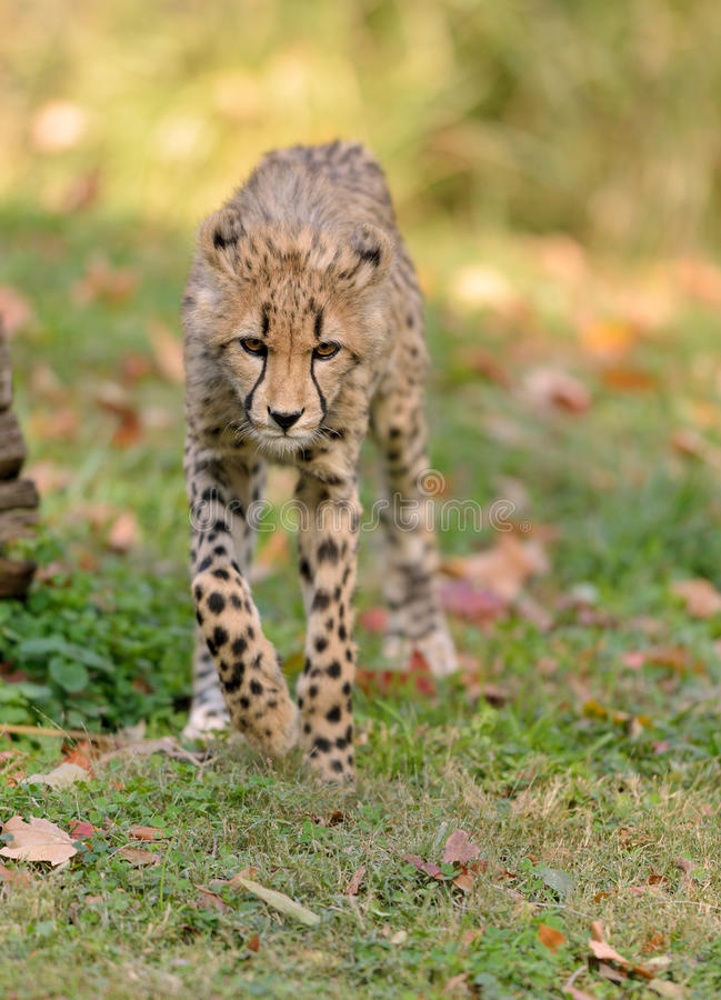 Cheetah on the prowl stock photography