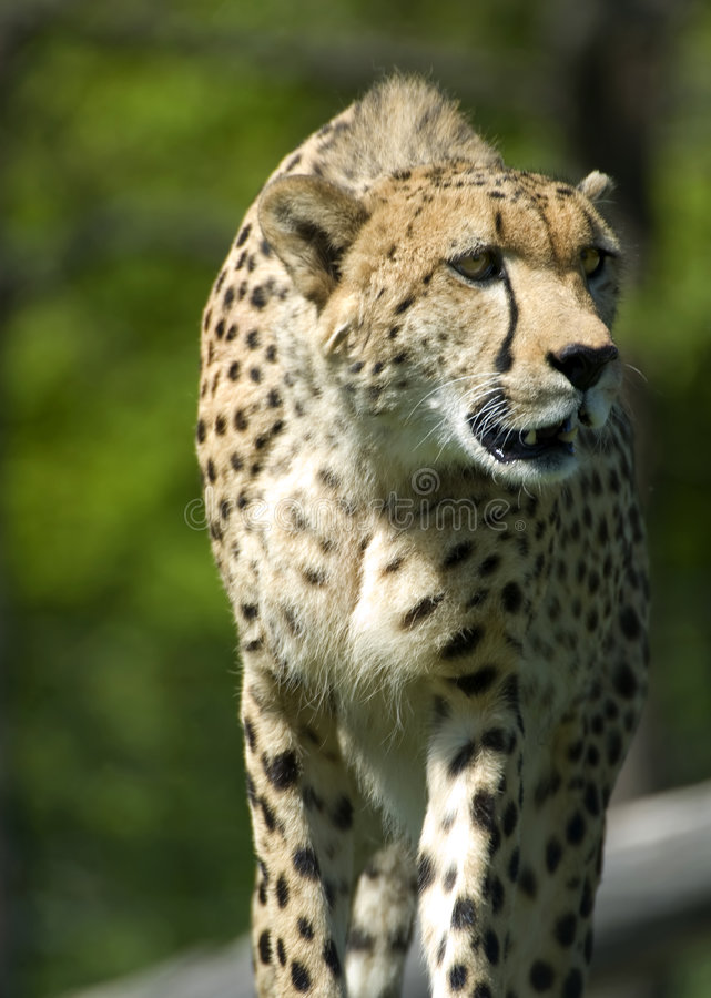 Download Cheetah on the Prowl stock photo. Image of cheetah, spots - 5518450