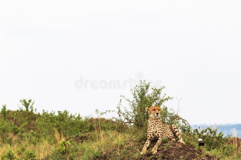 cheetah Punto di vista in savanna Masai Mara, Kenia fotografie stock