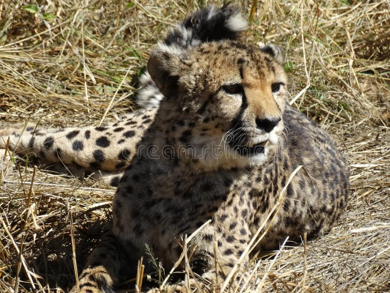 Cheetah relaxing on the grass royalty free stock image