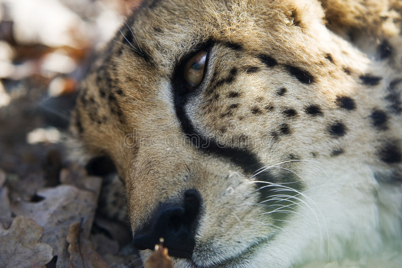 Download Cheetah resting stock photo. Image of rests, resting, leaves - 1572594