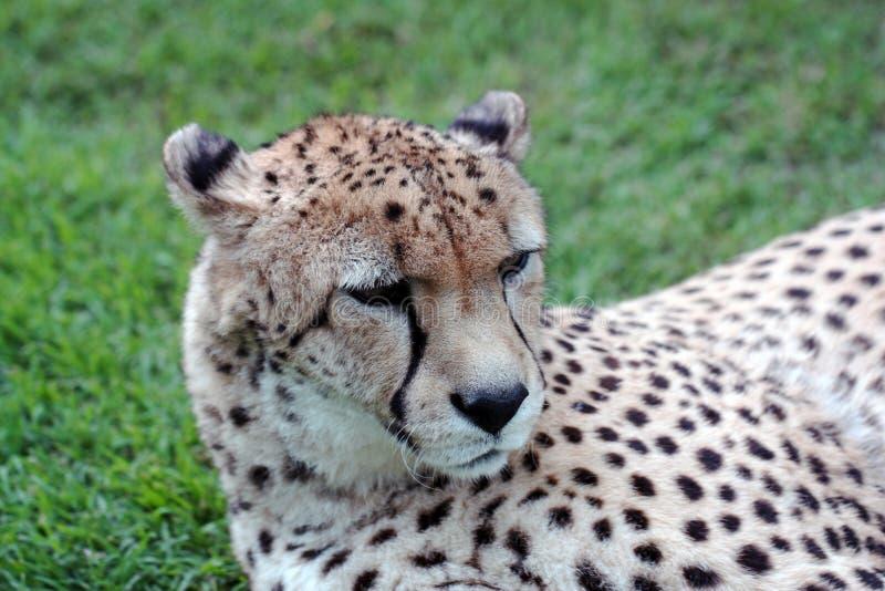 Cheetah Resting Royalty Free Stock Photos
