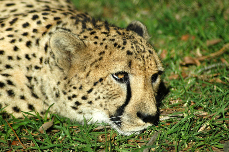 Download Cheetah Resting On Grass Stock Photos - Image: 3058433