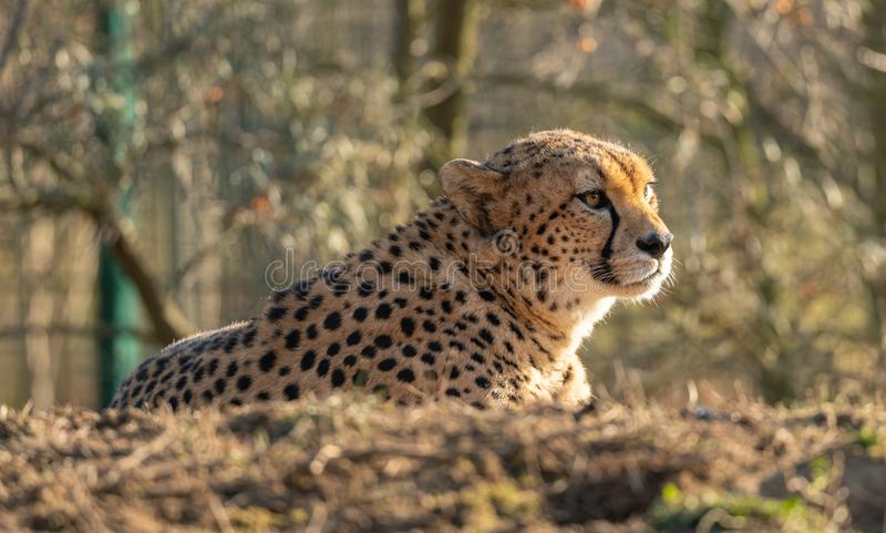 Cheetah resting on small hill in the zoo stock images