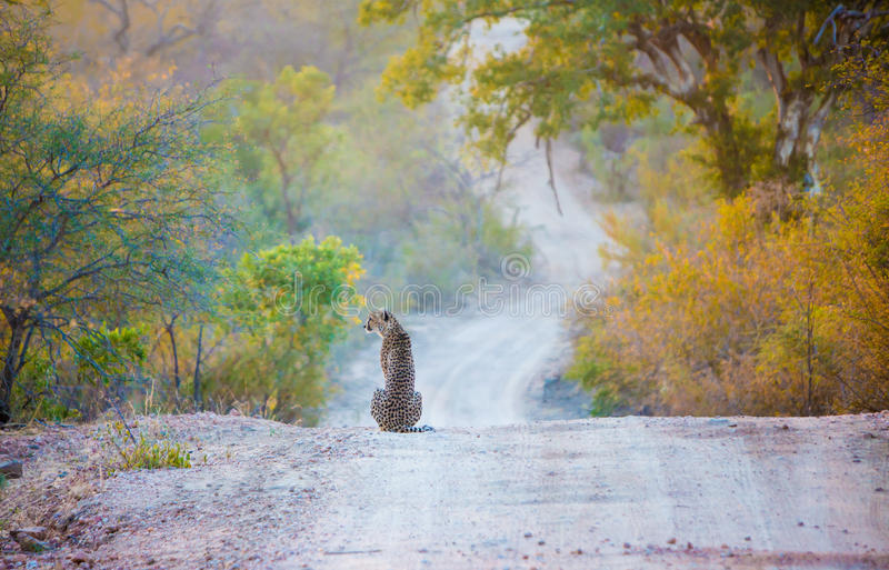 Cheetah on the road royalty free stock image