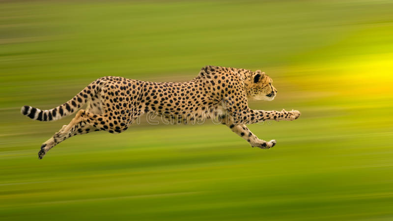 Cheetah run stock images
