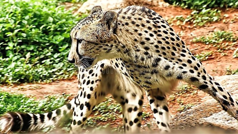 Cheetah Run. The cheetah is the world`s fastest land animal. They can run 70 mph or 110 kph, which is as fast as cars drive on the highway. The cheetah can reach stock photos