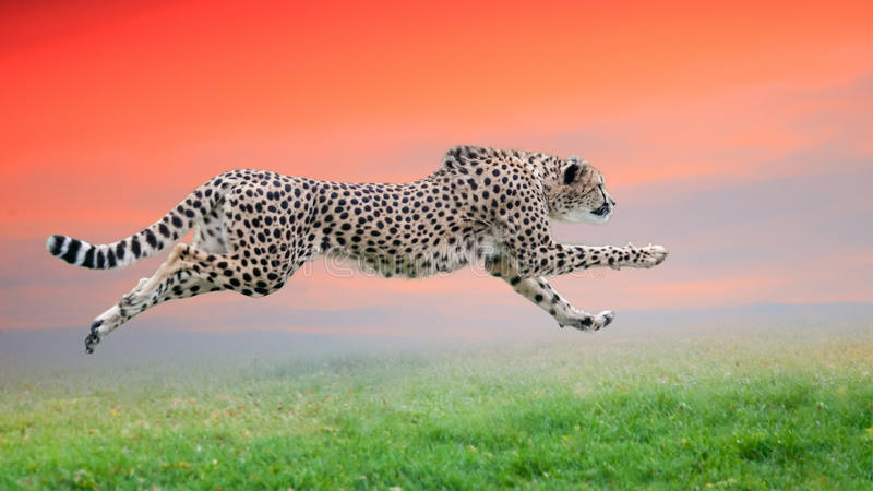 Cheetah run. The cheetah is hunting at sunset