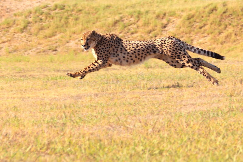 Cheetah running fast. Captive cheetah running fast at the facility of cheetah outreach in south africa