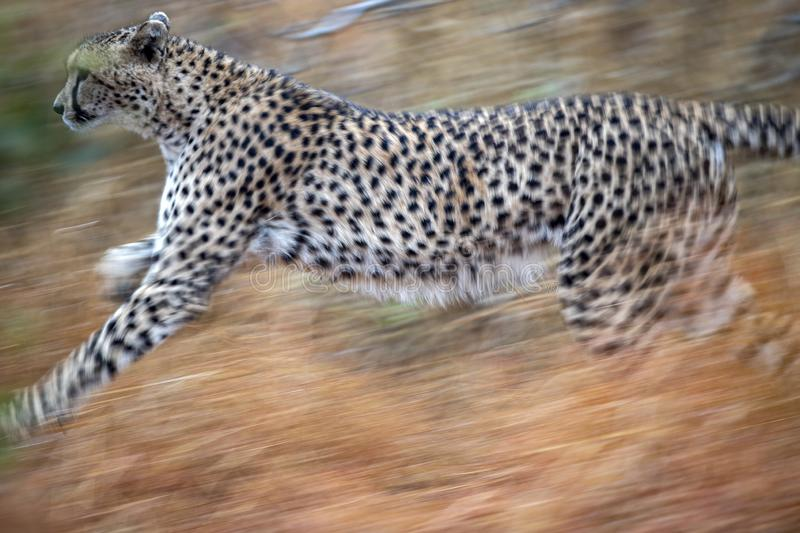Cheetah running in kruger park south africa stock images