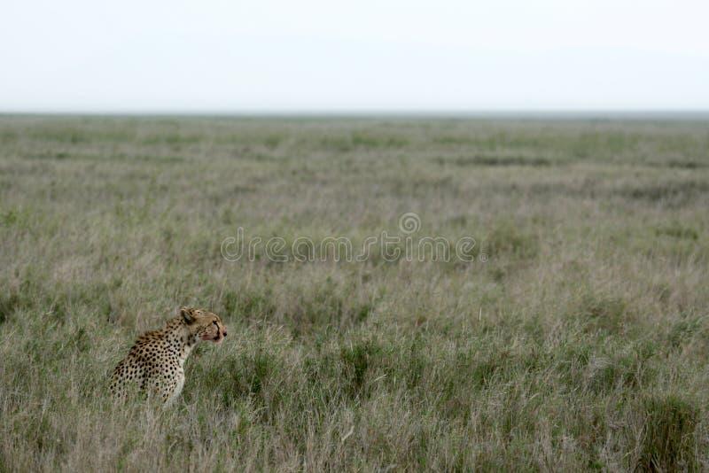 Download Cheetah - Serengeti, Africa Stock Photo - Image: 10368610