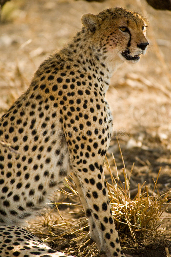 Download Cheetah in the shade stock image. Image of cheetah, africa - 1502097