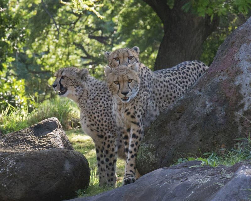 Cheetah Sisters stockfotografie