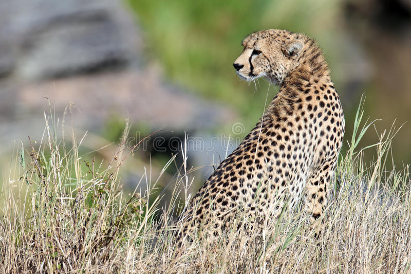 Download Cheetah Sit On The Grass And Looks Afield Royalty Free Stock Image - Image: 15611156