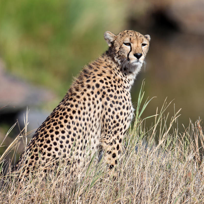 Download Cheetah Sit On The Grass And Looks Afield Royalty Free Stock Image - Image: 15611166