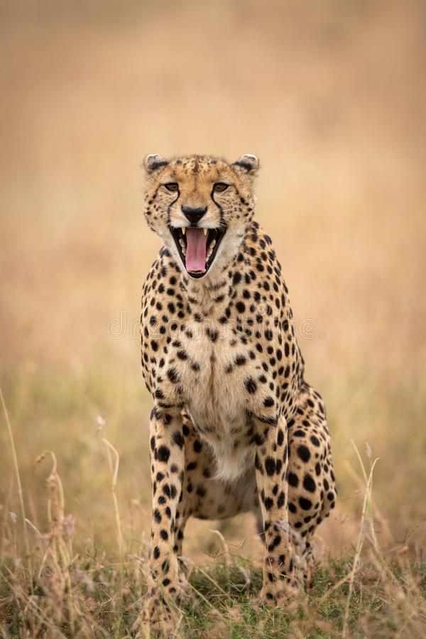 Cheetah sits in long grass yawning widely royalty free stock image