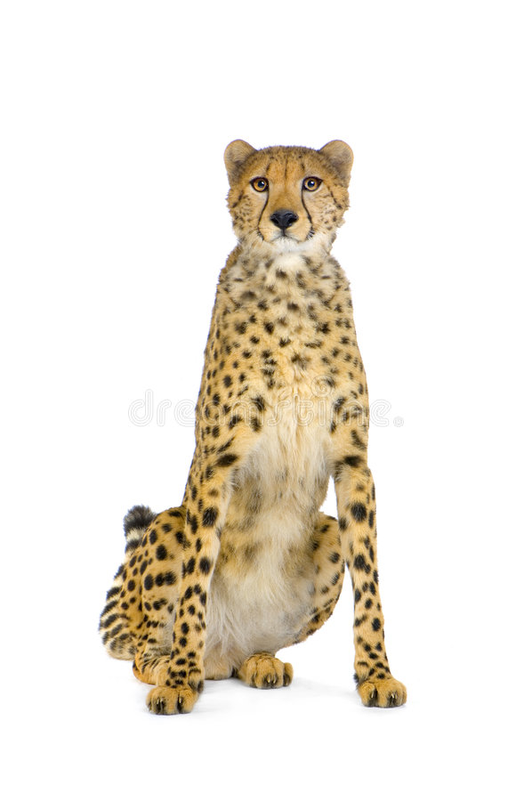 Cheetah sitting; royalty free stock photo