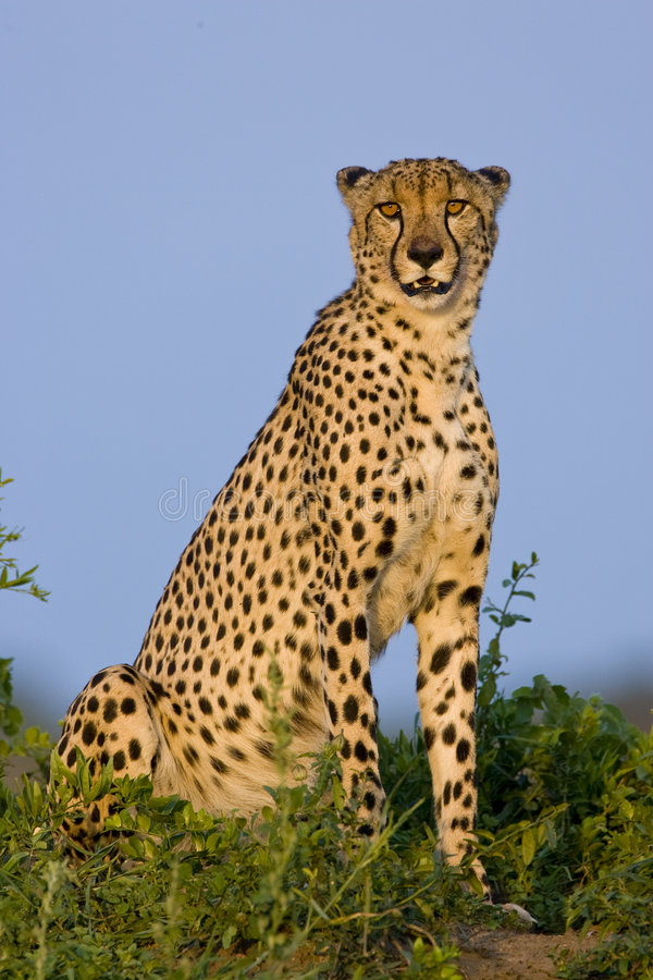 Download Cheetah sitting stock photo. Image of whisker, africa - 4200276
