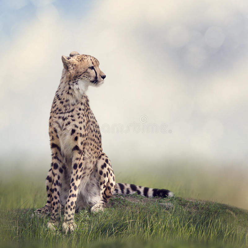 Cheetah sitting on a hill royalty free stock photo