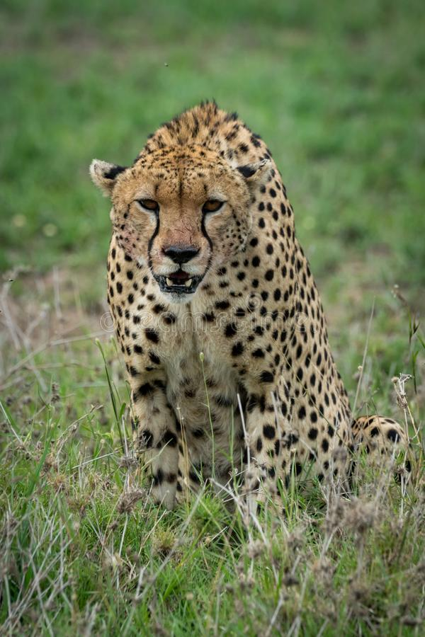 Cheetah sitting and leaning forwards on grassland stock photography