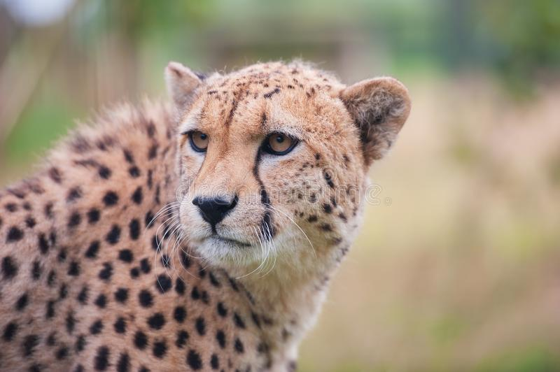 Cheetah sitting in tall grass royalty free stock photography