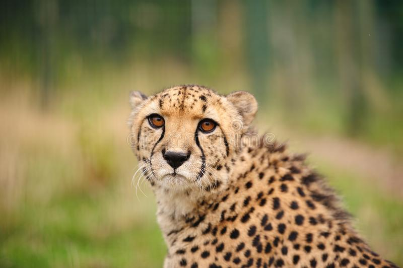 Cheetah sitting in tall grass royalty free stock image