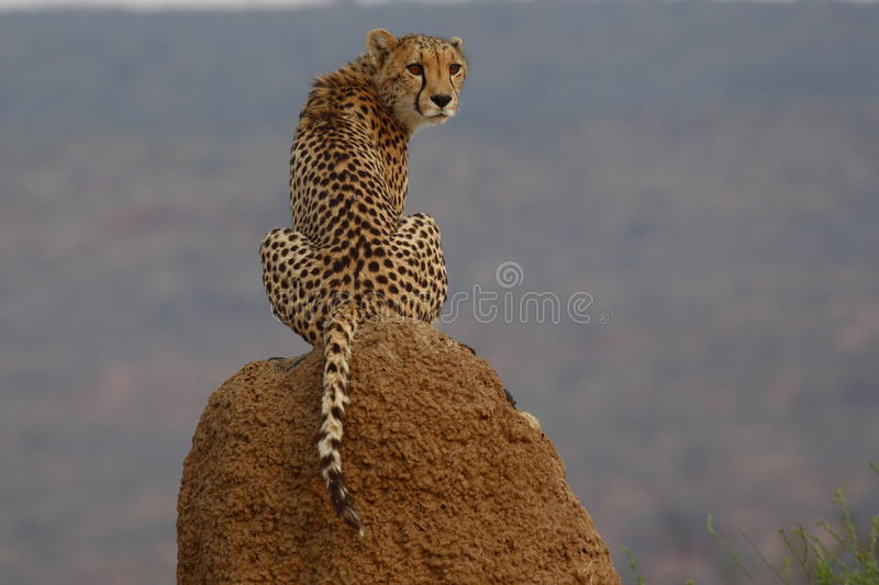 Cheetah sitting on termite mound in Namibia royalty free stock image