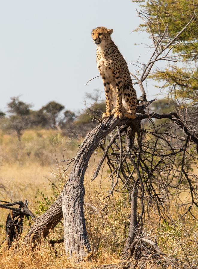Cheetah sitting on a tree stock image