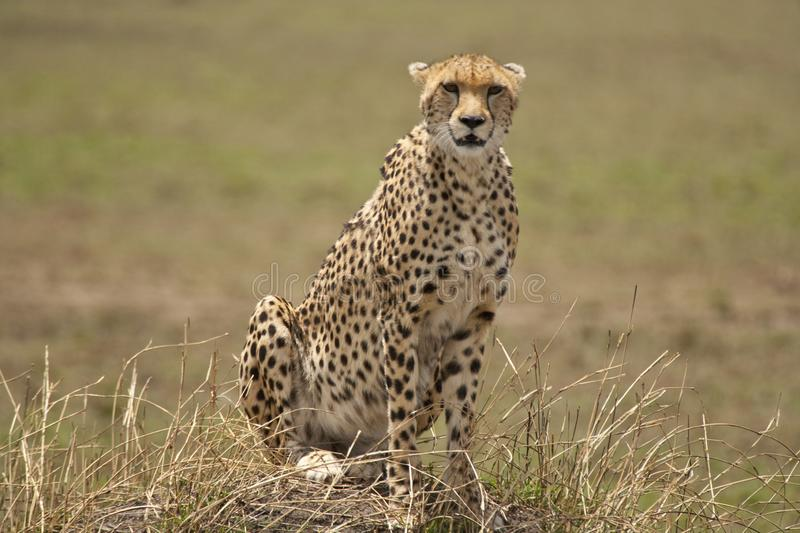 Cheetah sitting in wait on a small hill royalty free stock images