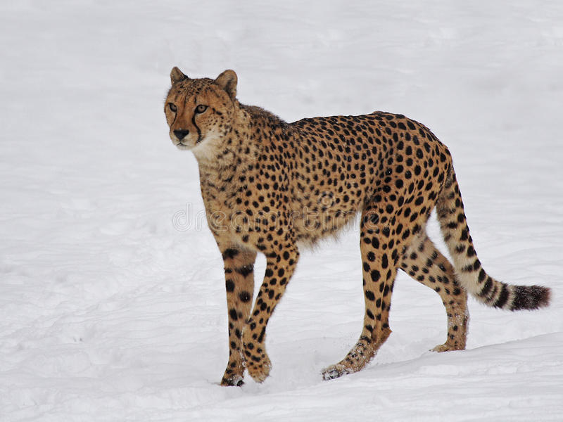 Cheetah in the snow royalty free stock photography